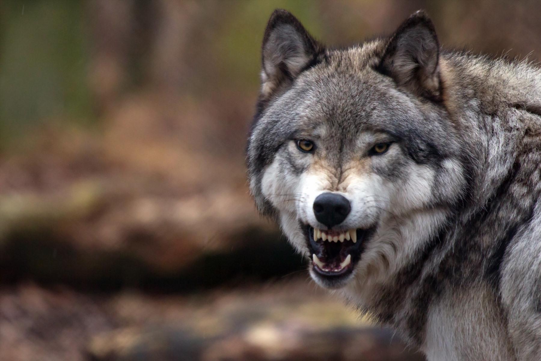 Wolf und Bär müssen entnommen werden